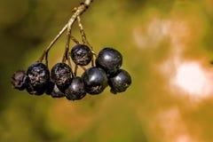 Schwarz-Früchte getragene Eberesche Gartenbaum lizenzfreie stockfotografie
