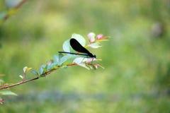 Schwarz-geflügelter Damselfly gehockt auf Niederlassung lizenzfreies stockfoto