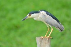 Schwarz-gekrönter Nacht-Reiher-Vogel Stockfotos