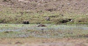 Schwarz-gekratzte Bürste-mit Pelz besetzt Ratte in der Wiese stock video