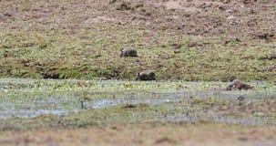 Schwarz-gekratzte Bürste-mit Pelz besetzt Ratten-Fütterung stock video