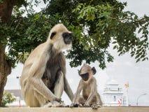 Schwarz-gesichtige Affen oder Langur albert in alter Stadt Anuradhapura, Sri Lanka herum Lizenzfreie Stockfotografie