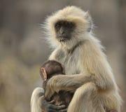 Schwarz-gesichtiger Gibbon, der Baby in Nationalpark Ranthambore schaukelt Stockfotos