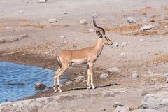 Schwarz-gesichtiges Impala-RAM, Aepyceros melampus, an einem waterhole Stockbilder