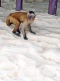 Schwarz-gestreifter Capuchin im Sand des Strandes Stockfotografie