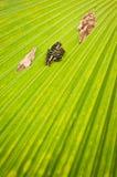 Schwarz-grüner Schmetterling auf dem grünen Palmeblatt Stockfotografie