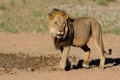 Schwarz-maned afrikanischer Löwe Stockfoto