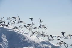 Schwarz-mit Beinen versehene Dreizehenmöwe auf Eisberg Lizenzfreie Stockfotos