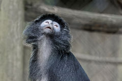 Schwarz-mit einer Kappe bedeckte Kapuzineraffe Stockfotografie