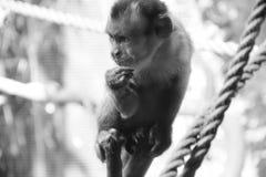 Schwarz-mit einer Kappe bedeckter Capuchin (Schwarzweiss) Stockfotografie