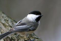 Schwarz-Mit einer Kappe bedeckter Chickadee-Vogel gehockt auf einem Zweig. Lizenzfreies Stockbild
