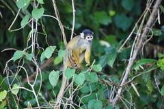 Schwarz-mit einer Kappe bedecktes Eichhörnchen, Saimiri boliviensis, Affe, See Sandoval, Amazonas-Gebiet, Peru Lizenzfreie Stockbilder