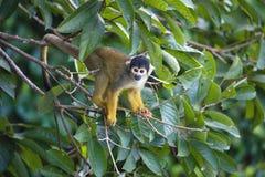 Schwarz-mit einer Kappe bedecktes Eichhörnchen, Saimiri boliviensis, Affe, See Sandoval, Amazonas-Gebiet, Peru Stockfoto