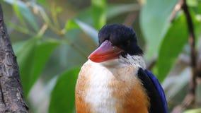 Schwarz-mit einer Kappe bedecktes Eisvogel-Eisvogel pileata stock video