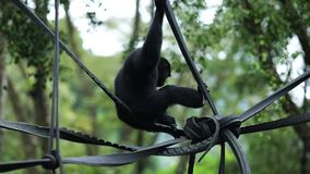 Schwarz-mit Pelz besetzt Gibbon am Zoo stock video footage
