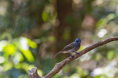 Schwarz--naped Monarch in der Natur Stockfoto