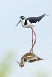 Schwarz-necked Stelze - Sumpfgebiet-Nationalpark lizenzfreie stockfotos