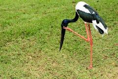 Schwarz-necked Storch Stockbild