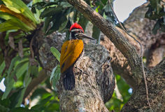 Schwarz--rumped Flameback-Spechtvogel hockte vertikal auf dem Stamm eines Baums Lizenzfreie Stockfotografie