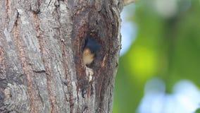 Schwarz--thighed falconet microhierax fringillarius nette Vögel in der Baumhöhle stock footage