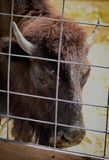 Schwarz und braun/yack, Büffelgesicht,/-kopf in der Gefangenschaft stockbilder