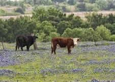 Schwarz- und Brown-Kühe, die auf einem Gebiet von Bluebonnets entlang der Bluebonnet-Spur in Ennis, Texas stehen lizenzfreies stockbild