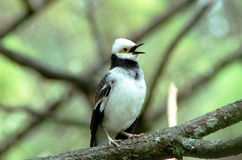 Schwarz-Winged Starling Lizenzfreie Stockbilder