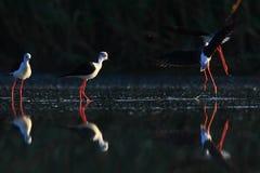 Schwarz-winged Stelze im Wasser Lizenzfreie Stockfotografie