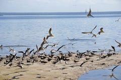 Schwarze Abstreicheisen, die entlang Ufer fliegen Stockbild