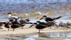 Schwarze Abstreicheisen eine Seemöwe und Watvögel, die im flachen seawa versanden Lizenzfreies Stockfoto
