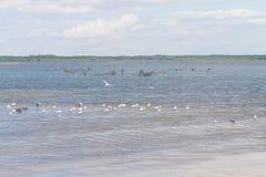 Schwarze Abstreicheisen, Seemöwen und Patagonienmöwe bei Lagoa tun Peixe lizenzfreie stockfotografie