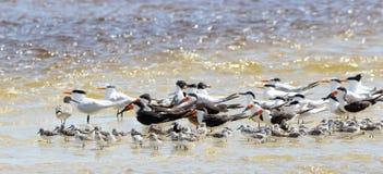 Schwarze Abstreicheisen, Seemöwen und willets, die im flachen Meerwasser versanden Lizenzfreies Stockfoto