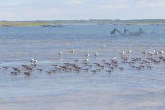 Schwarze Abstreicheisen und Seemöwen bei Lagoa tun Peixe stockfoto