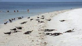 Schwarze Abstreicheisenvögel, die auf dem Strand schlafen Stockfoto