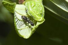 Schwarze Ameise auf einem Blatt Stockbilder