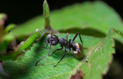 Schwarze Ameise auf grünem Blatt Stockbilder