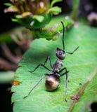 Schwarze Ameise auf grünem Blatt Lizenzfreie Stockfotografie