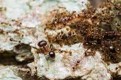 Schwarze Ameise Kolonie auf Baum stockfoto