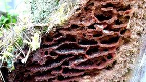 Schwarze Ameisen auf Holz stock footage