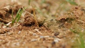 Schwarze Ameisen, die auf ihr Feld gehen stock footage