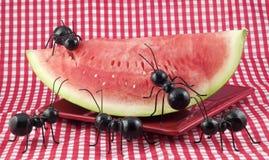 Schwarze Ameisen, die Wassermelone essen lizenzfreie stockfotografie
