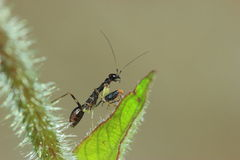 Schwarze Ameisengottesanbeterin Stockbild
