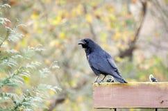 Schwarze amerikanische Krähe, Georgia, USA Lizenzfreie Stockfotos
