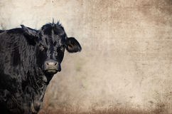 Schwarze Angus-Färse gegen rustikalen Schmutzhintergrund Zeigt Landwirtschaftsrinderfarm Lizenzfreies Stockfoto