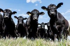 Schwarze Angus-Herde - niedriger Winkel lizenzfreie stockfotos