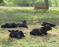 Schwarze Angus-Kälber in der Wiese oder in der Weide stockfotografie