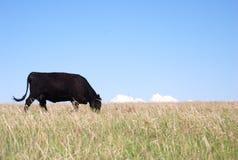 Schwarze Angus-Kuh, die Gras isst stockfotos