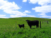 Schwarze Angus-Kuh und ihr Kalb Stockbilder