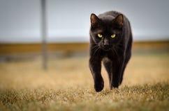 Schwarze anpirschende Katze, festes Anstarren Lizenzfreie Stockfotos
