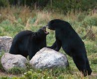 Schwarze Bären sparring Stockfoto